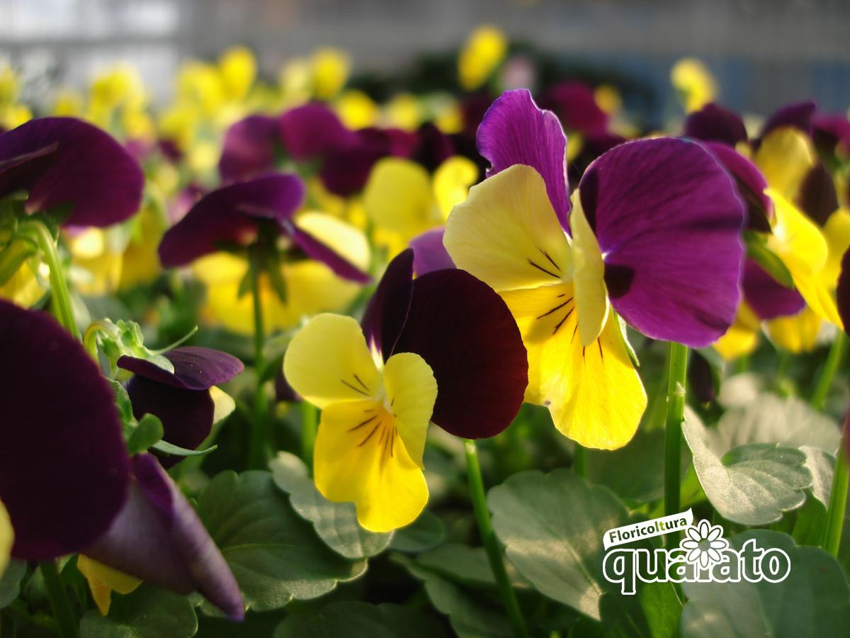 Piante Perenni Resistenti Al Freddo fiori resistenti al freddo, facili da coltivare (anche sul