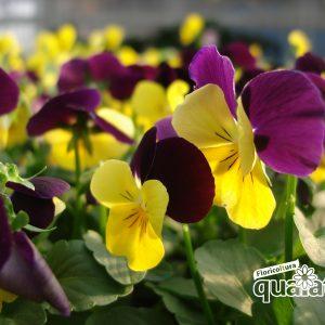 fiori resistenti al freddo