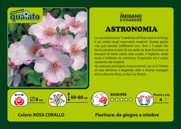 Rosa Astronomia - Meilland