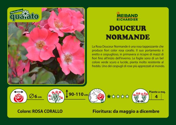 Rosa Douceur Normande - Meilland