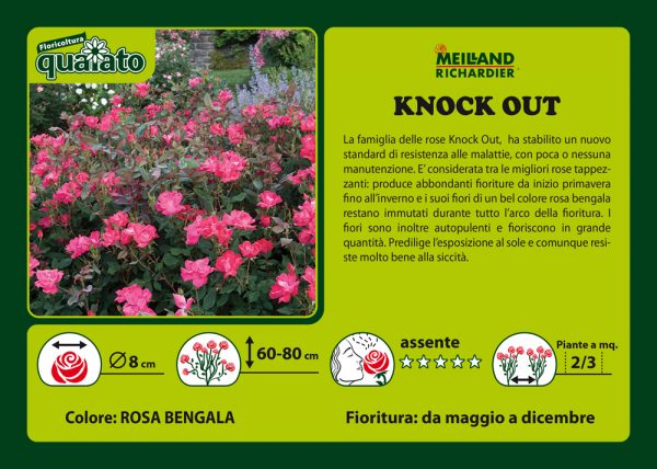 Rosa Knock Out - Meilland