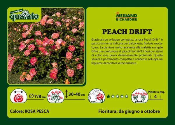 Rosa Peach Drift - Meilland