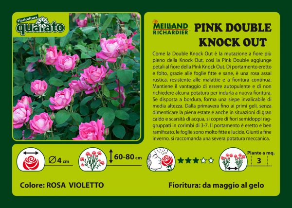 Rosa Pink Double Knock Out - Meilland