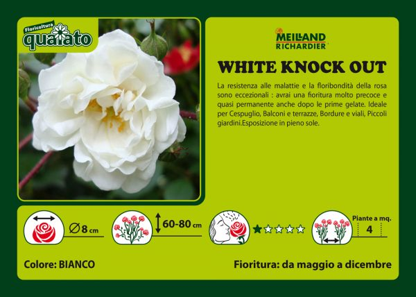 Rosa White Knock Out - Meilland