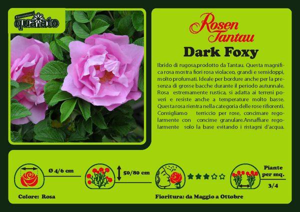 Rosa Dark Foxy -  Rosen Tantau