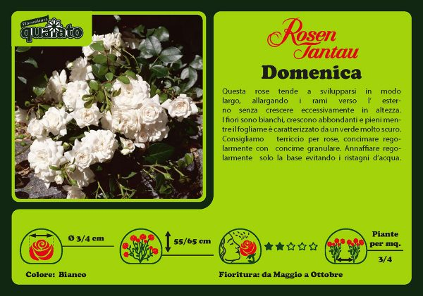 Rosa Domenica - Rosen Tantau