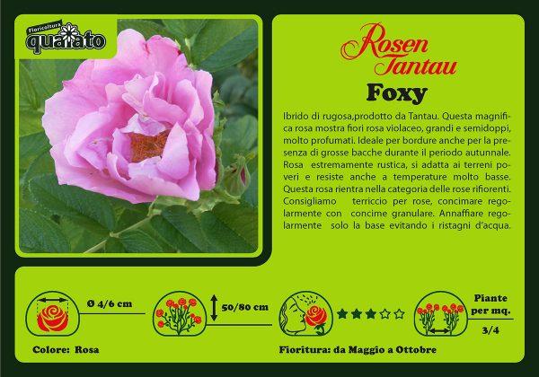 Rosa Foxy - Rosen Tantau