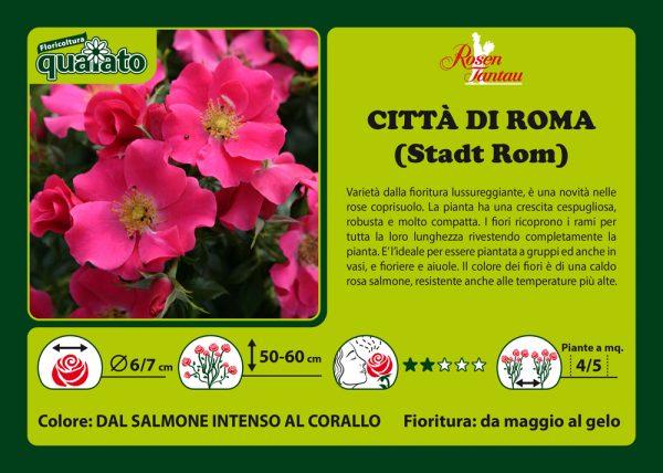 Rosa Città di Roma - Rosen Tantau