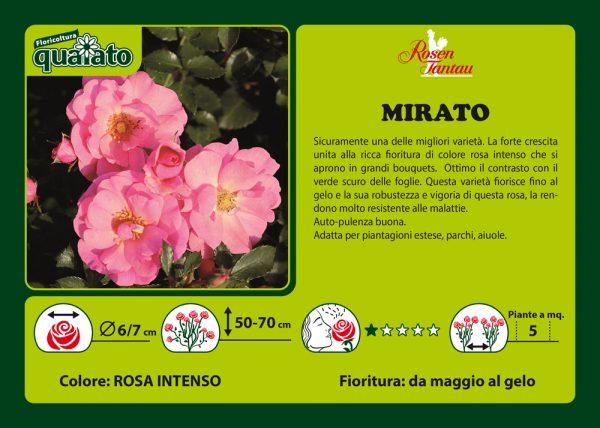 Rosa Mirato - Rosen Tantau
