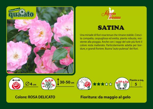 Rosa Satina - Rosen Tantau