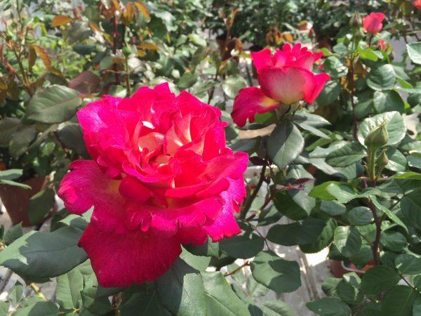Rosa Meilland grandi fiori