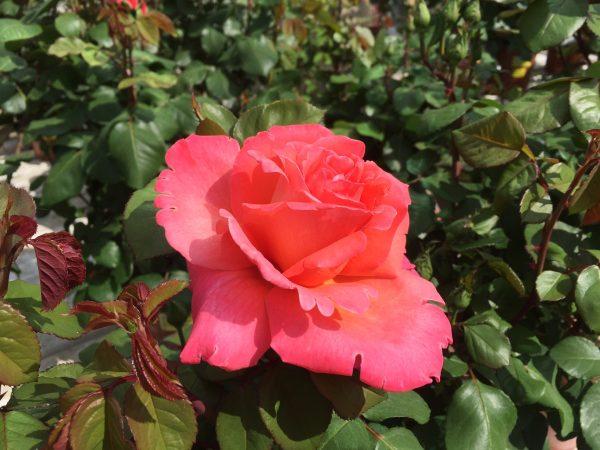 Rosa Cristoforo Colombo - Meilland grandi fiori