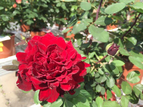 Rosa Marcel Pagnol - Meilland grandi fiori
