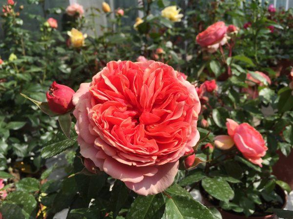 Rosa Chippendale - Tantau Rosa nobile arancio scuro