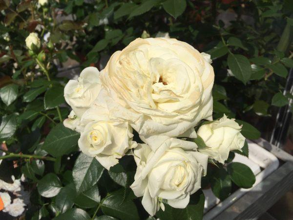 Rosa Alabaster - Tantau grandi fiori colore bianco