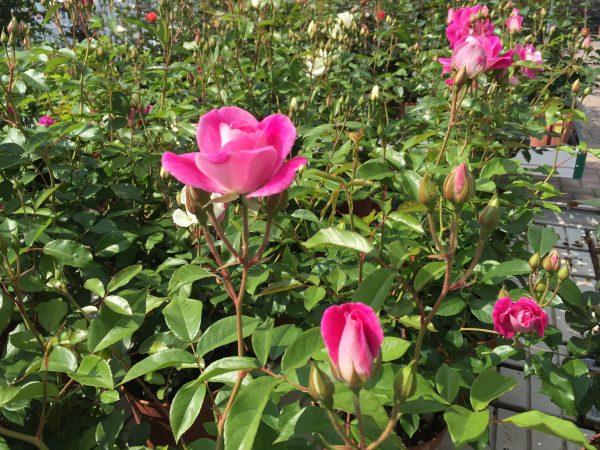 Rosa Brillant Iceberg - rosa a mazzi senza spine