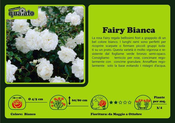 Rosa Fairy Bianca