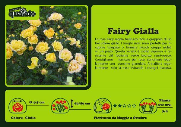 Rosa Fairy Gialla