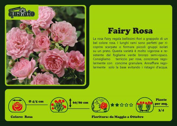 Rosa Fairy Rosa