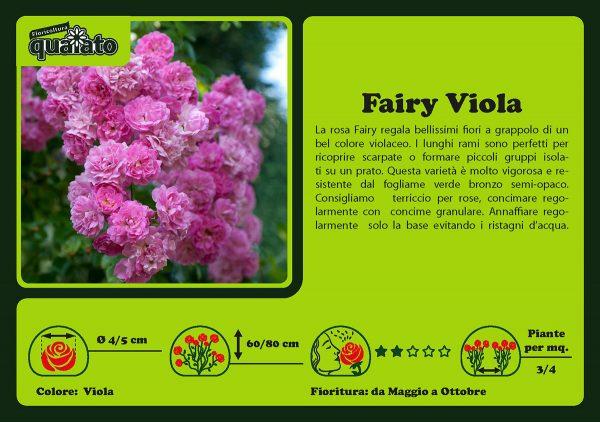 Rosa Fairy Viola