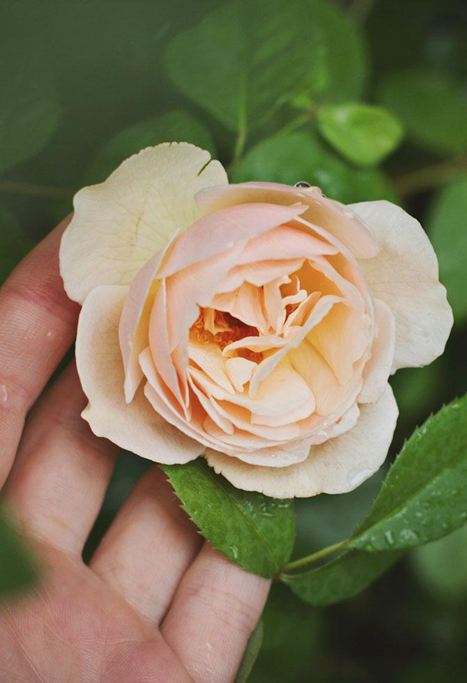 cura malattie delle rose