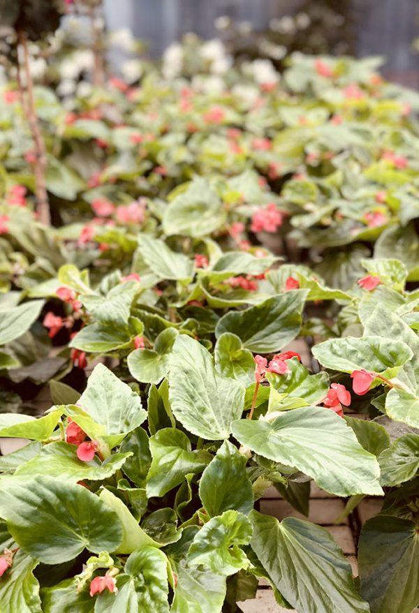 8 Fiori resistenti al sole, da piantare in estate - Floricoltura Quaiato