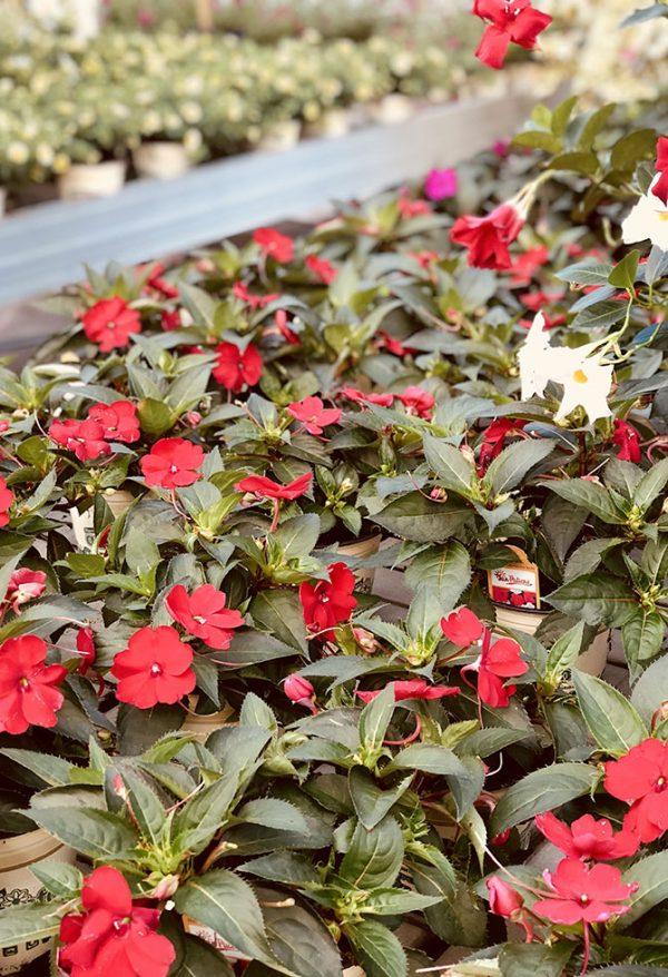 Cerca Fiori.8 Fiori Resistenti Al Sole Da Piantare In Estate Floricoltura