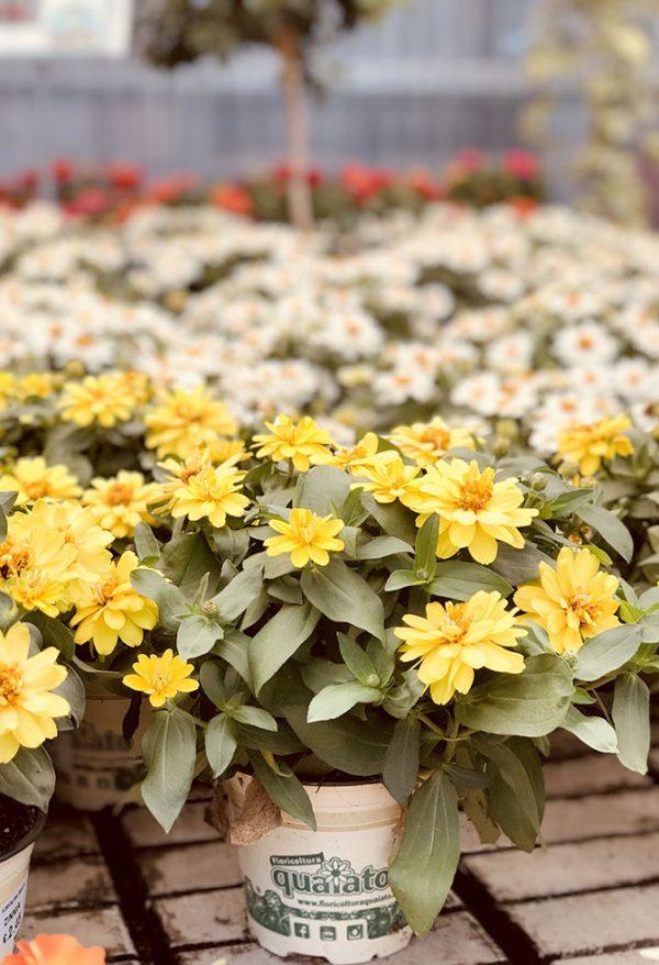 Fiori Gialli Stagionali.8 Fiori Resistenti Al Sole Da Piantare In Estate Floricoltura