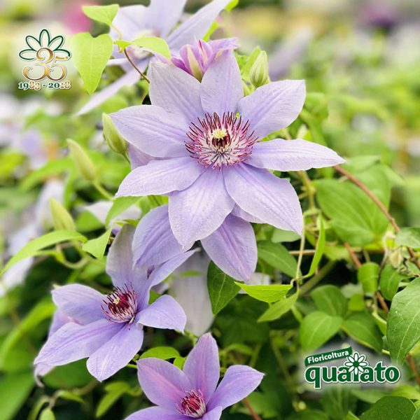 clematis-collezione-boulevard-by-Poulsen-roser