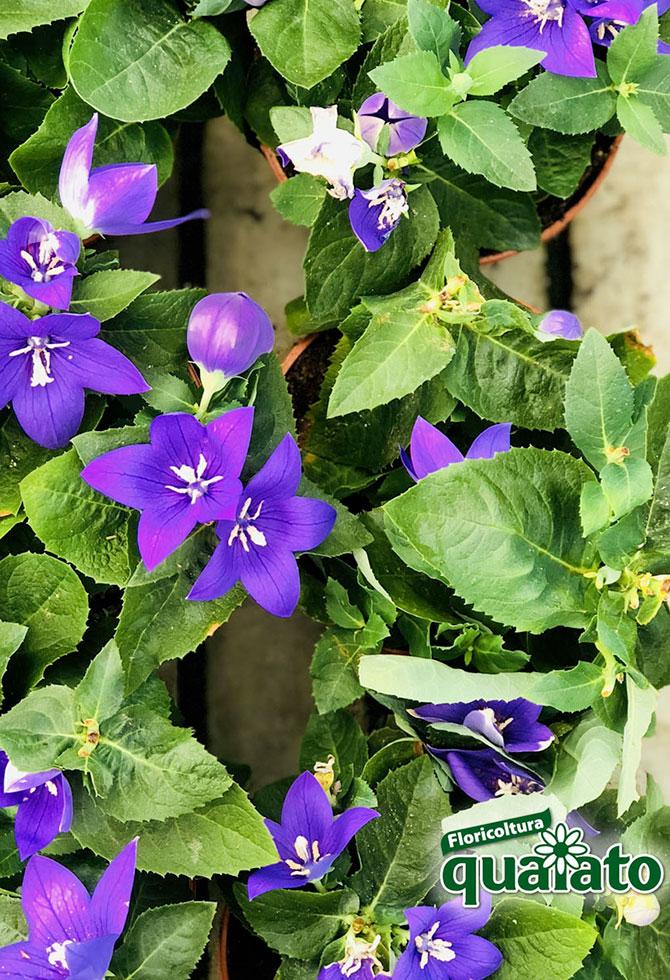 Fiori Bianchi Ricadenti.15 Meravigliose Piante Estive Resistenti Al Sole Floricoltura