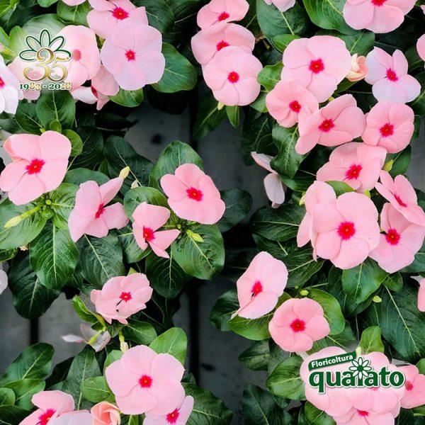 Fiori Da Giardino.15 Meravigliose Piante Estive Resistenti Al Sole Floricoltura