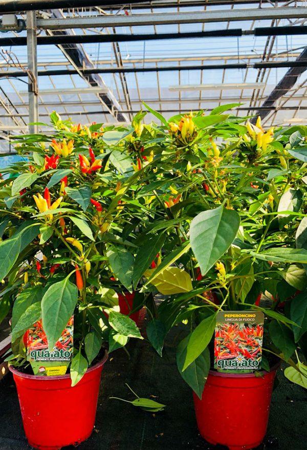 piante peperoncino piccante