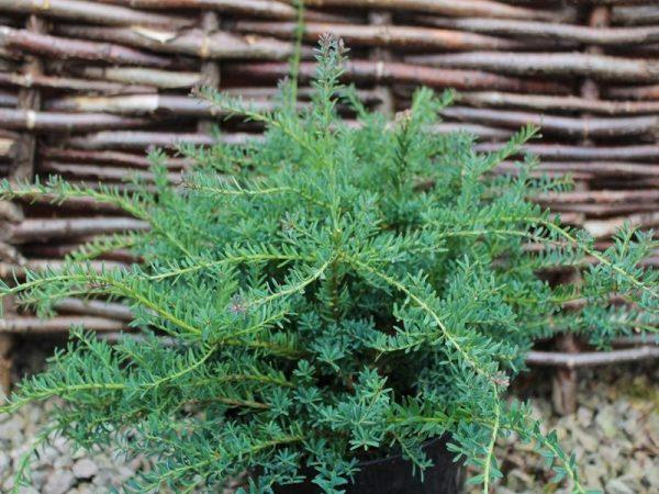 podocarpus_alpinus