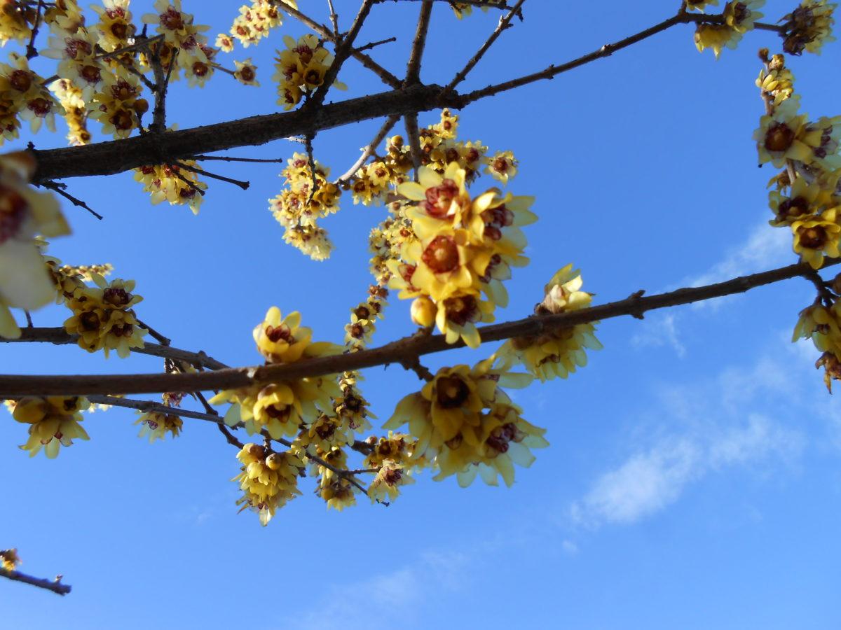 Calicanto Fiore D Inverno 6 piante che fioriscono in inverno - floricoltura quaiato