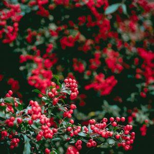 piante-con-bacche-rosse