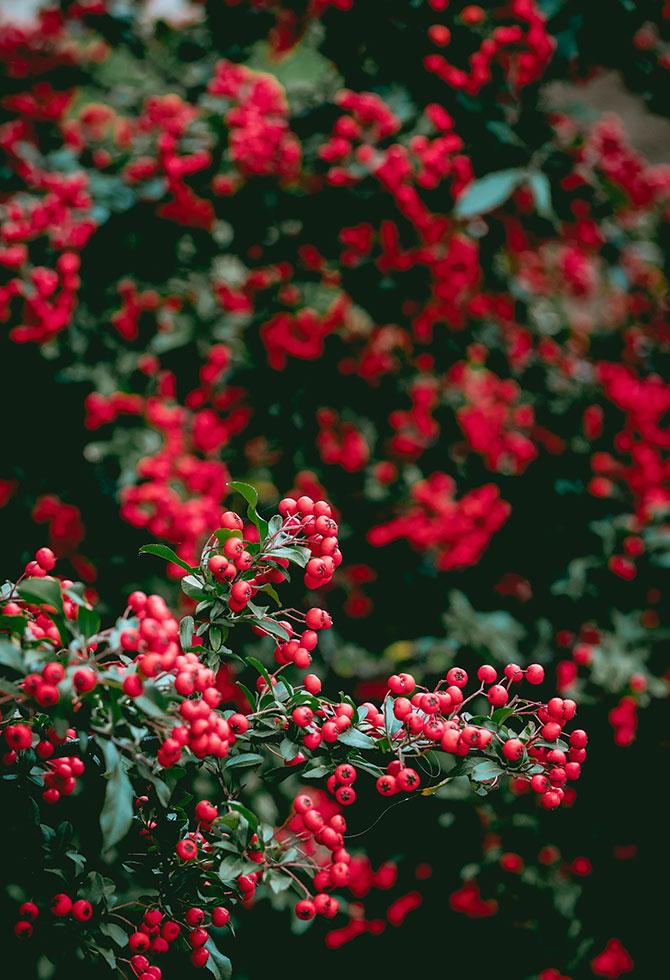 Pianta Con Fiori A Campana Bianchi.Piante Con Bacche Rosse Perfette Per Le Feste Floricoltura Quaiato