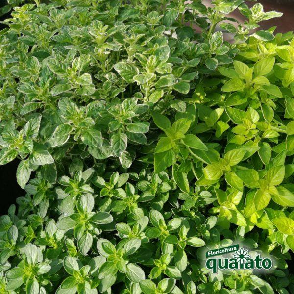 piante di origano