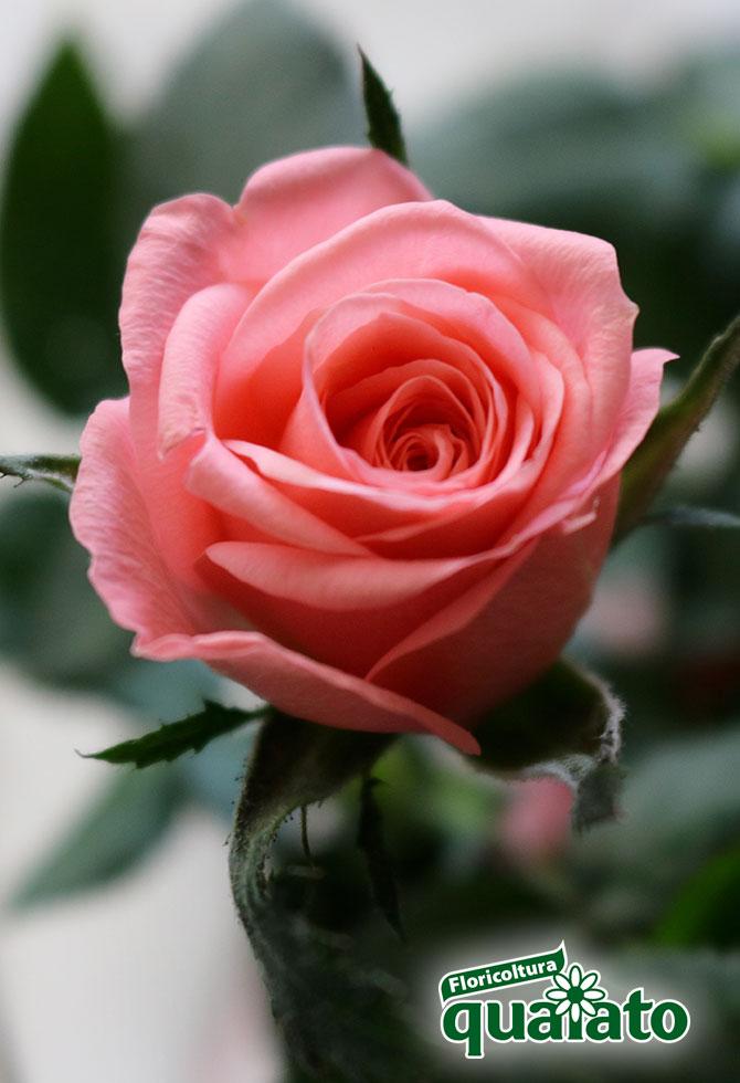 parassiti rose come debellarli