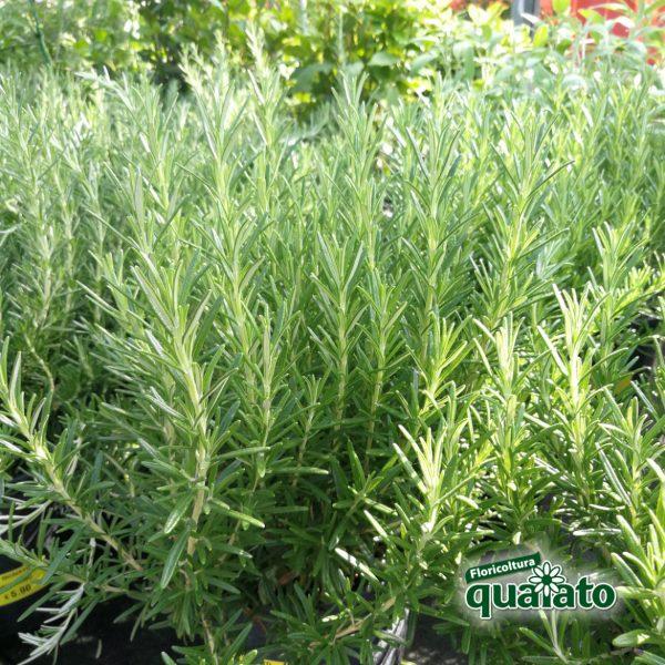 piante aromatiche rosmarino