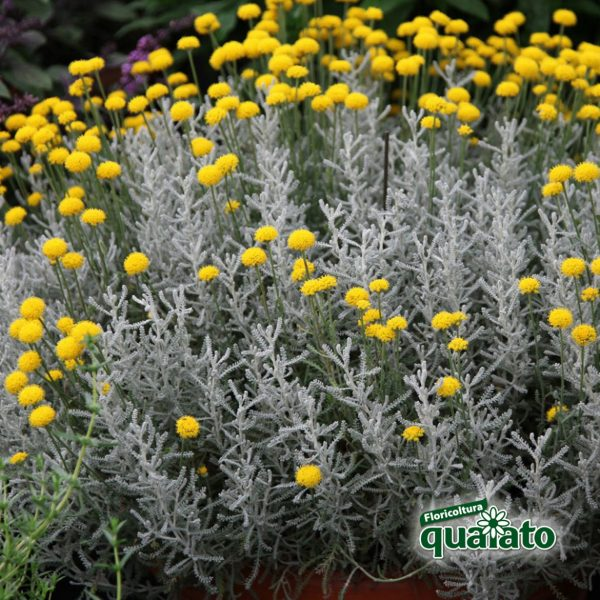 santolina pianta antizanzare