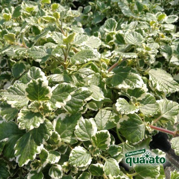 incento pianta aromatica antizanzare