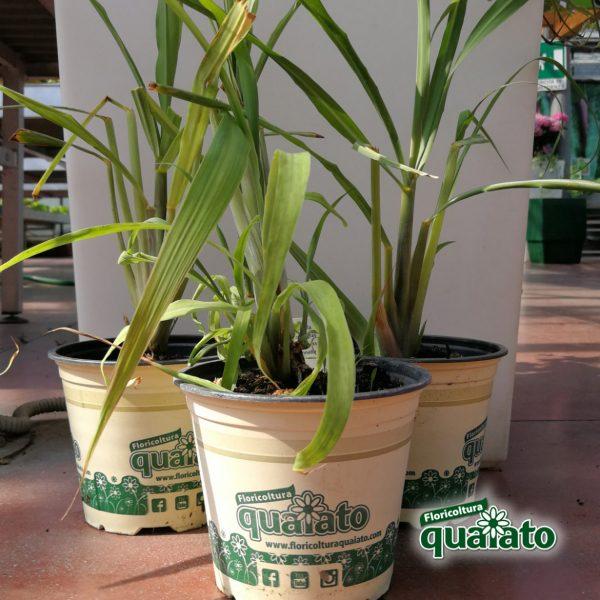 pianta aromatica lemongrass