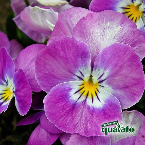 piante di viole