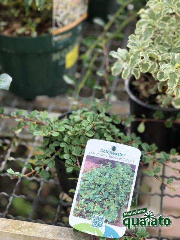 cotoneaster carpey