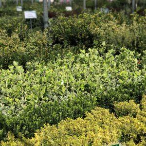 euonymus pianta perenne