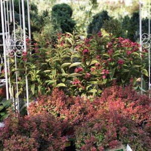 piante da esterno berberis