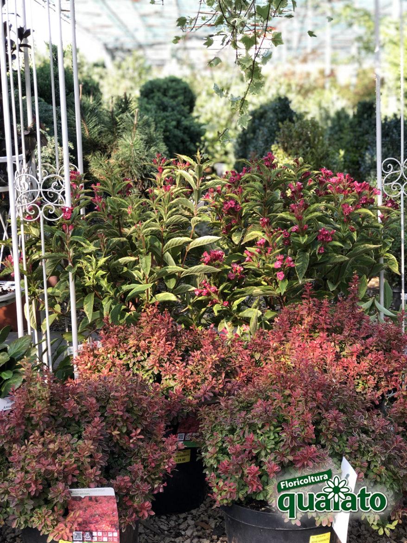Piante Piccole Da Giardino berberis: siepe con bacche rosse per decorare il giardino