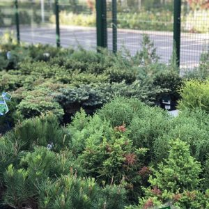 piante da esterno conifere