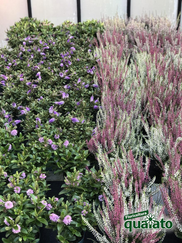 Perchè Acero Rosso Diventa Verde piante acidofile da giardino, che puoi coltivare all'ombra