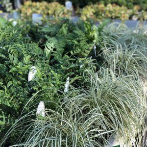 piante perenni ricadenti